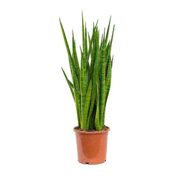 Sansevieria kirkii (star sansevieria) - Indoor Plants