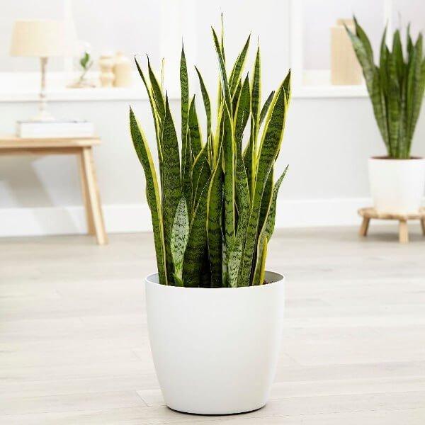 Sansevieria trifasciata Laurentii - Indoor Plants