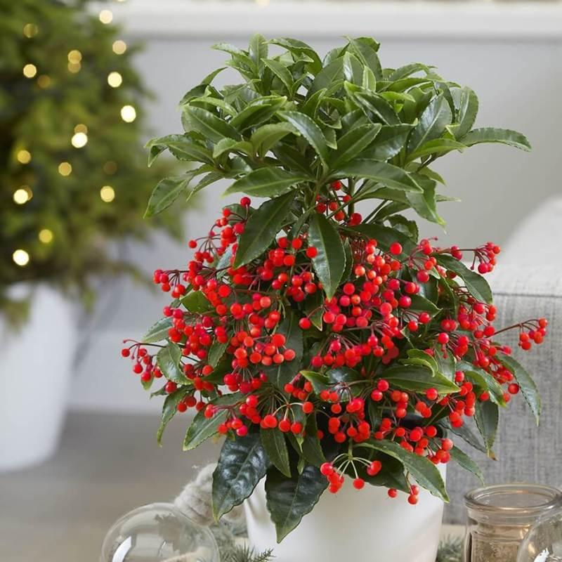 Christmas Berry (Ardisia crenata) - Indoor Plants