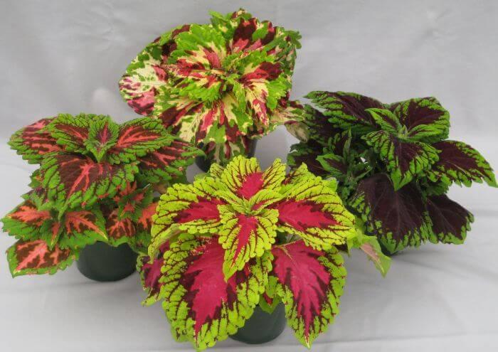 Coleus blumei (Coleus plant) - Indoor Plants