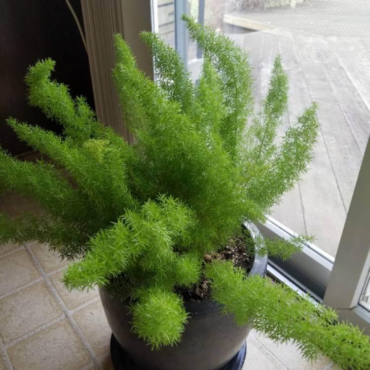 Foxtail Fern (Asparagus densiflorus 'Myers') - House Plants