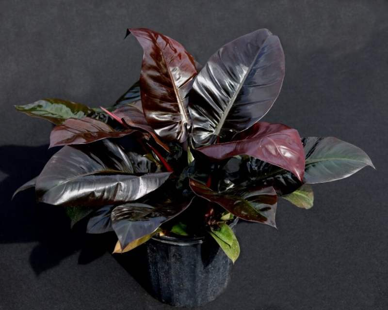 Philodendron Black Cardinal - Indoor Plants