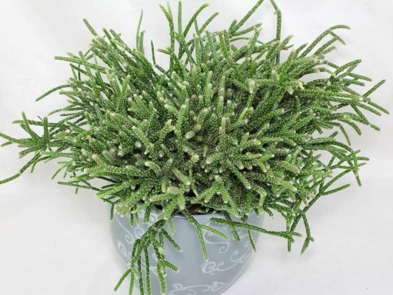 Rhipsalis pilocarpa (Hairy Stemmed Rhipsalis) - Indoor Plants
