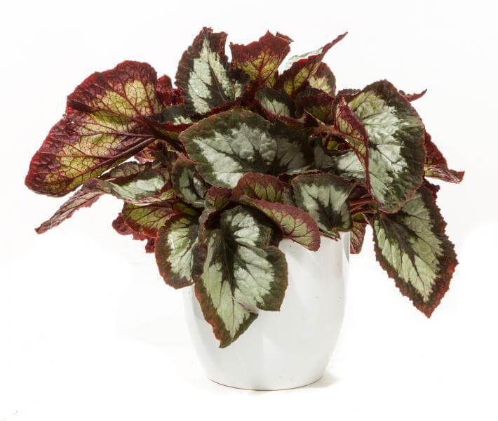 Rex Begonia | Begonia rex hybrids - Indoor Plants