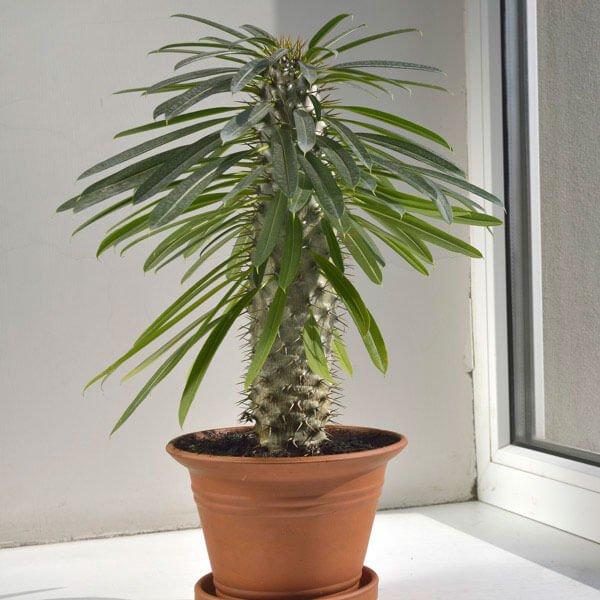 Madagascar Palm - Succulent plants