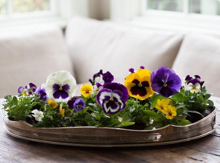 Pansy Flower (Viola x wittrockiana) - Flowering plants