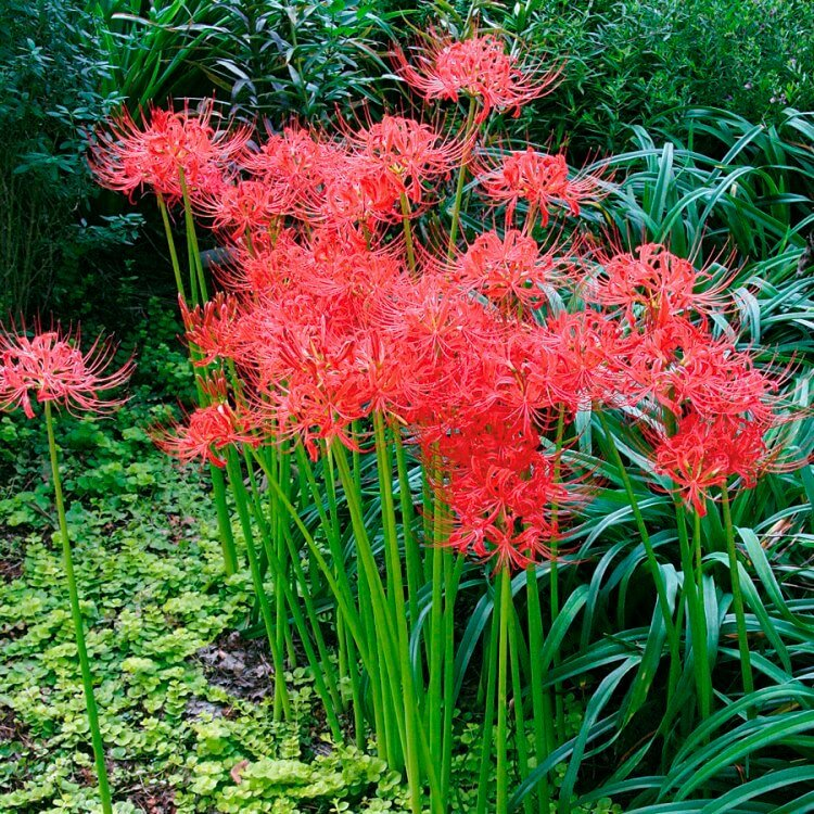 Red Spider Lily (Lycoris radiata) - Flowering plants