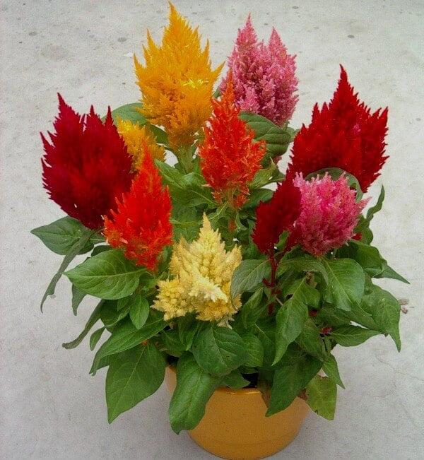 Celosia Plumosa – Flowering plants