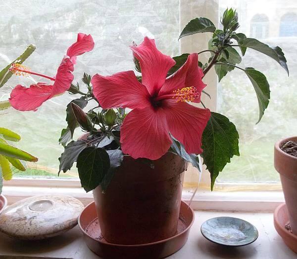 China rose (Hibiscus rosa sinensis) - Flowering plants
