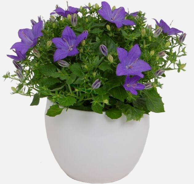 Star of Bethlehem (Campanula isophylla) – Flowering plants