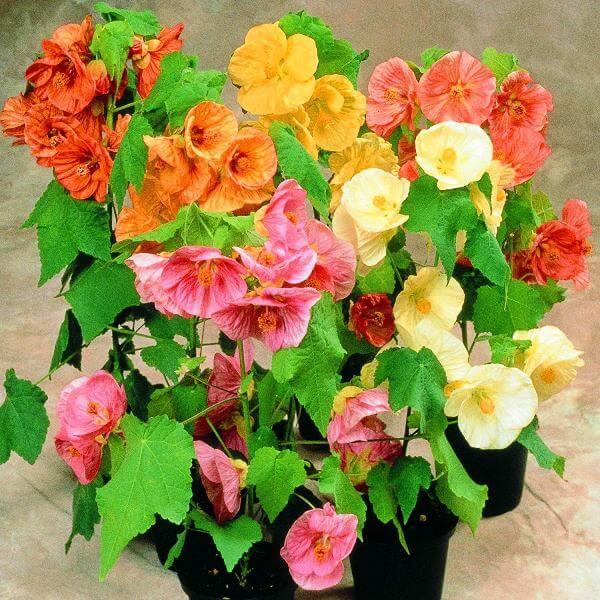 Flowering Maple (Abutilon hybridum) - Flowering plants