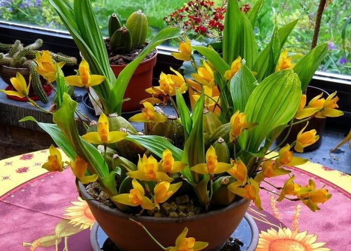 Lycaste aromatica - Flowering plants