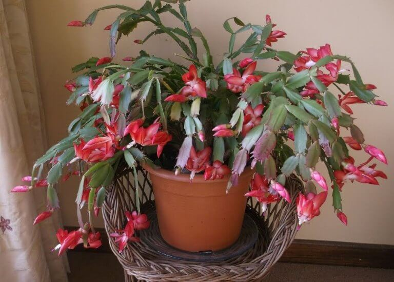 Schlumbergera truncata (Holiday Cactus) - Cactus Plants