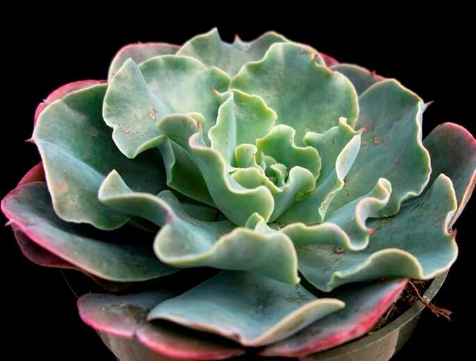 Echeveria 'Blue Waves' - Succulent plants