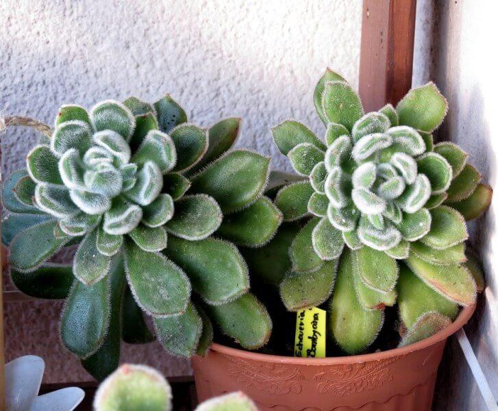 Echeveria 'Bombycina' - Succulent plants