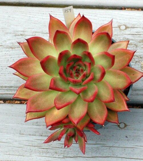Echeveria 'Frank Reinelt' - Succulent plants