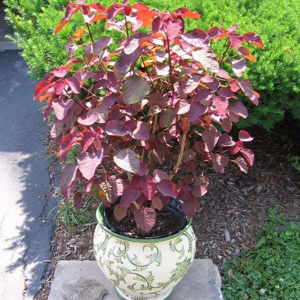 Euphorbia cotinifolia - Succulent plants
