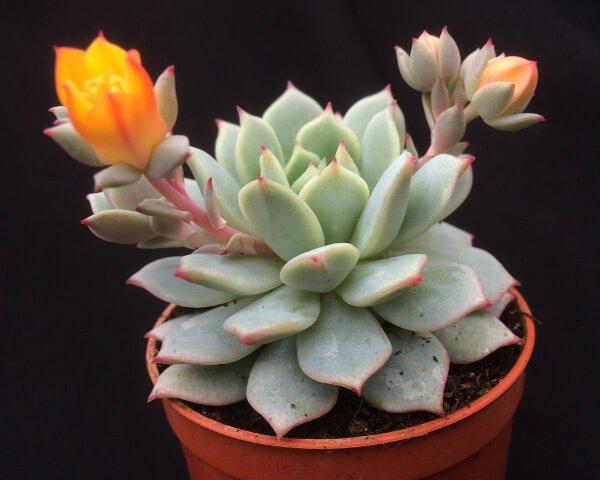 Echeveria derenbergii - Succulent plants