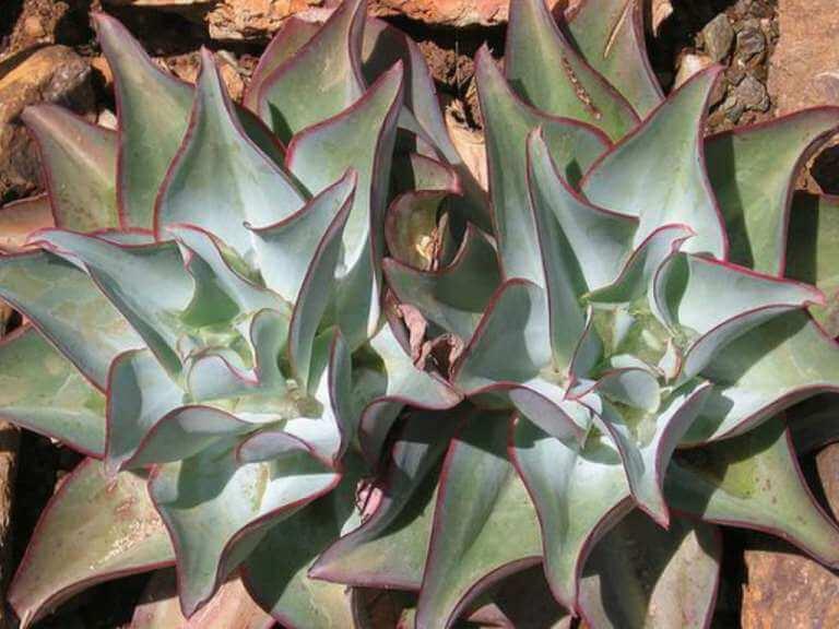 Echeveria subrigida 'Wavy' - Succulent plants