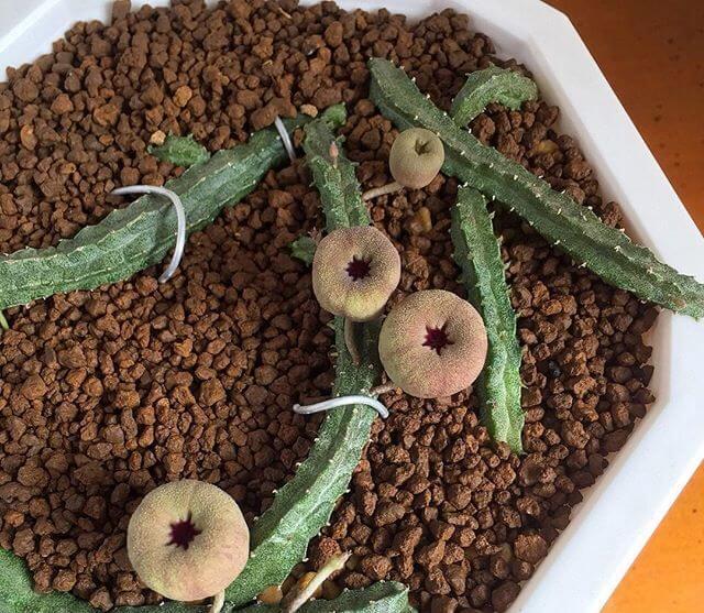 Echidnopsis malum - Succulent plants