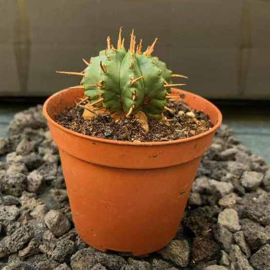 Euphorbia pulvinata (Pincushion Euphorbia) - Succulent plants
