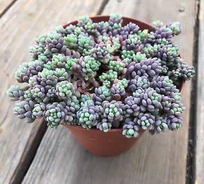 Sedum dasyphyllum 'Minor' (Corsican Stonecrop) - Succulent plants