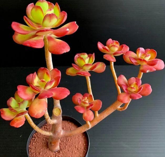 Sedum dendroideum (Tree Stonecrop) - Succulent plants