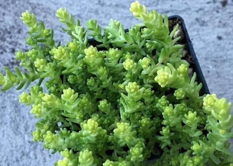 Stonecrop (Sedum acre) - Succulent plants