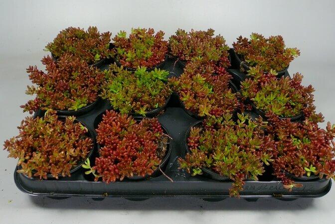 White Stonecrop (Sedum album 'Coral Carpet') - Succulent plants