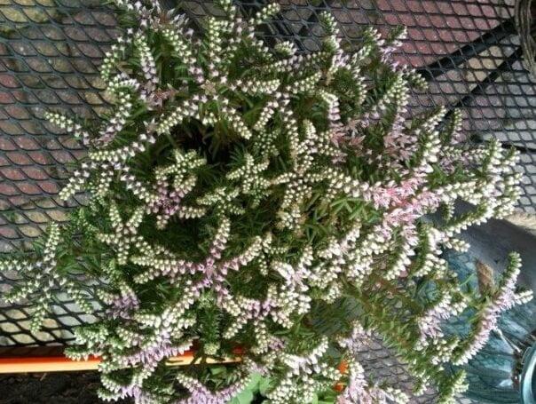 Sedum pulchellum (Widow's Cross) - Succulent plants