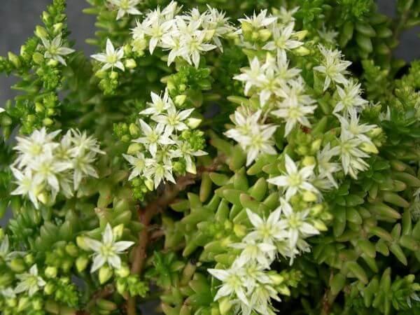 Live Forever (Sedum pulvinatum) - Succulent plants