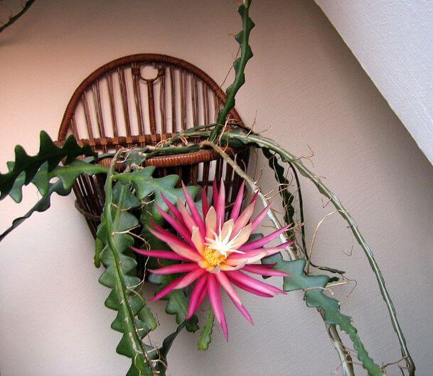 Fish Bone Cactus (Selenicereus anthonyanus) - Cactus Plants