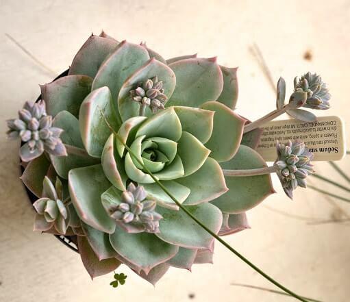 Sedum suaveolens (Sweet Smelling Sedum) - Succulent plants