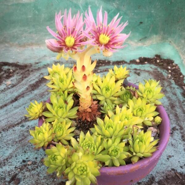 Mountain Houseleek (Sempervivum montanum) - Succulent plants