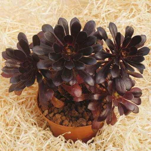 Purple Rose (Aeonium arboreum var. atropurpureum) - Succulent plants