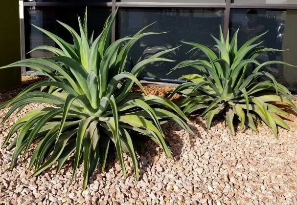 Agave desmettiana (Smooth Agave) - Succulent plants
