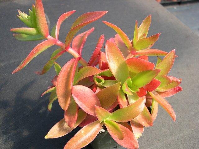 Campfire Crassula (Crassula capitella 'Campfire') - Succulent plants