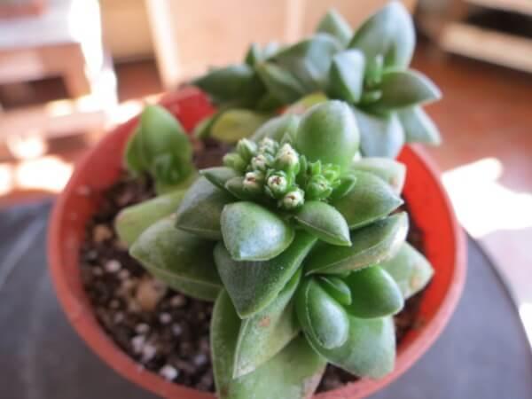 Crassula 'Springtime' (Springtime Crassula) - Succulent plants