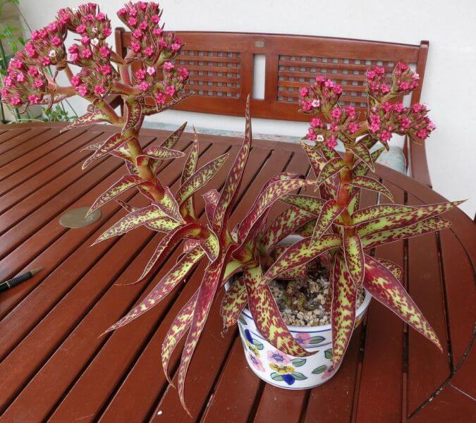 Crassula alba - Succulent plants