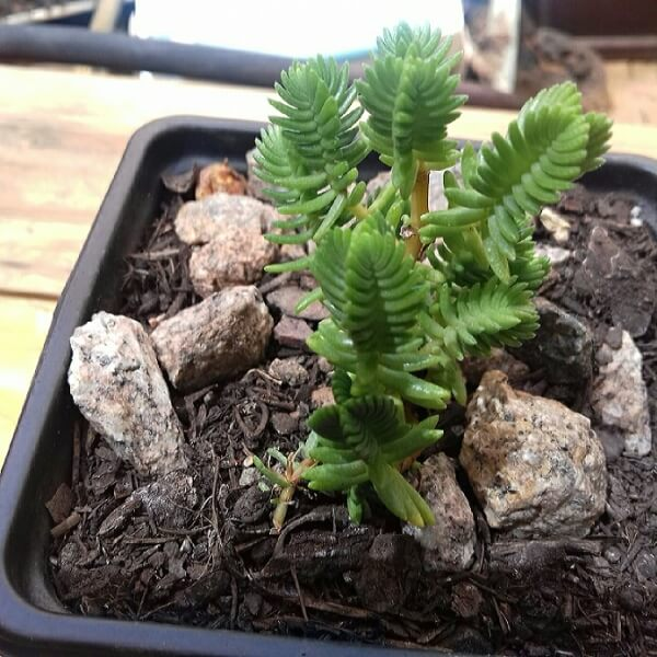 Crassula ericoides (Large Whipcord) - Succulent plants