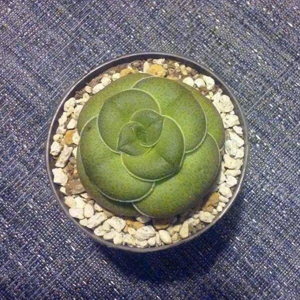 Crassula hemisphaerica - Succulent plants