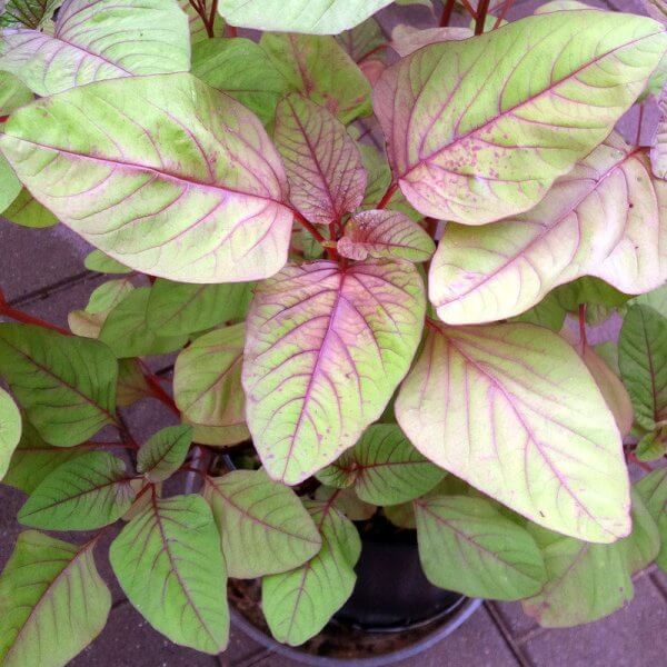 Red spinach (Amaranthus dubius) – Vegetable garden