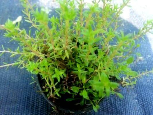 Swamp Stonecrop (Crassula helmsii) - Succulent plants