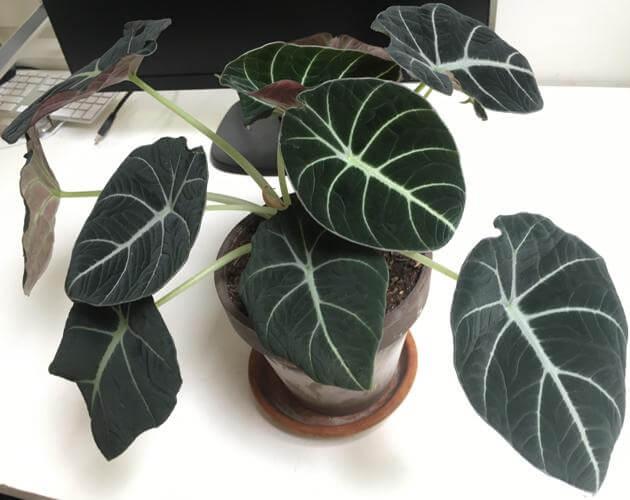 Alocasia Black Velvet - Indoor House Plants