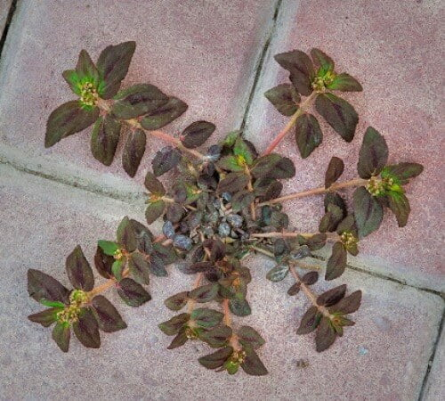 Asthma herb (Euphorbia hirta)