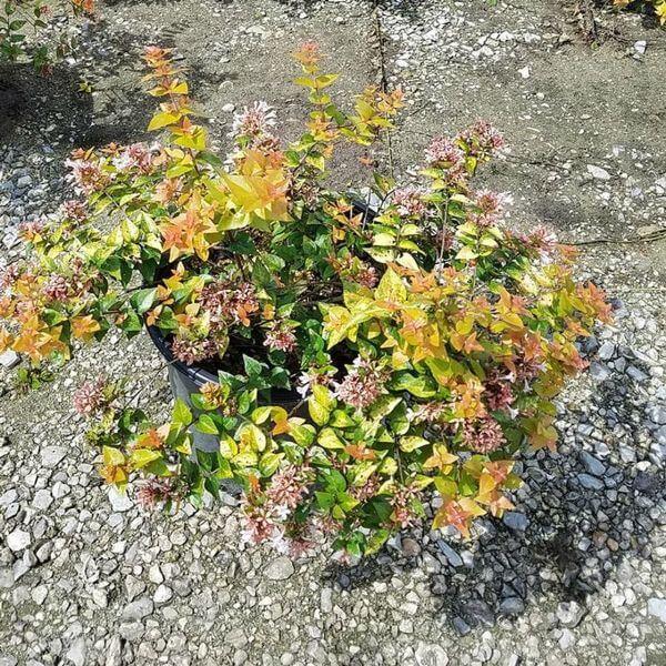 Canyon Creek Abelia - Flowering plants