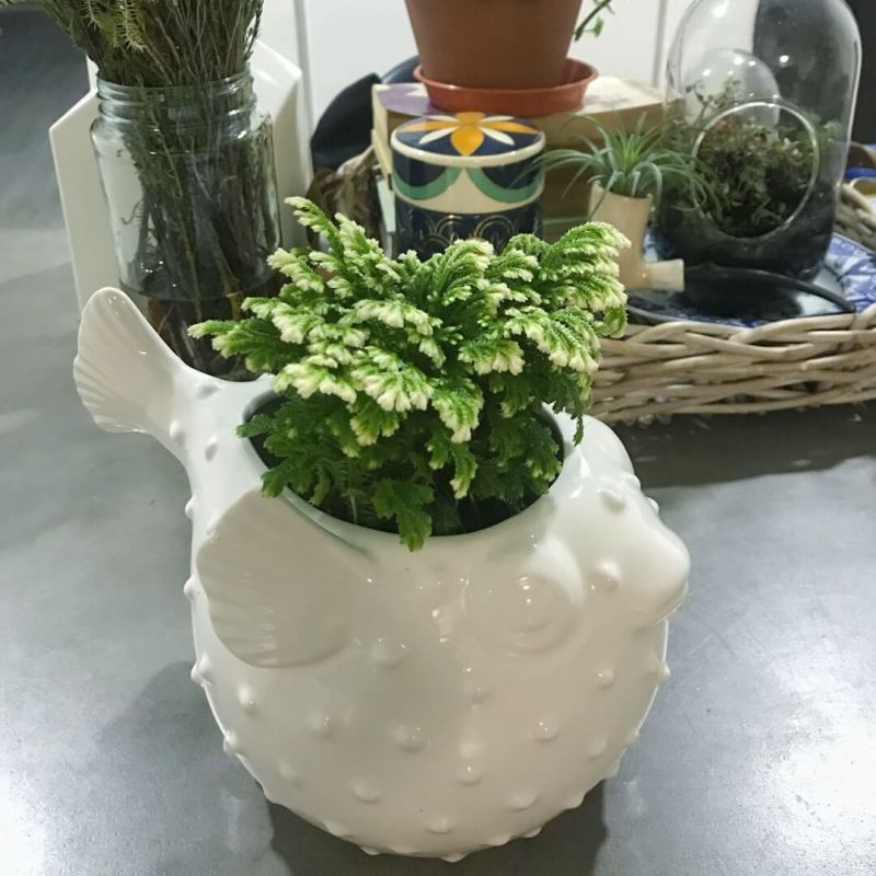 Selaginella kraussiana 'Frosty Fern' - Indoor Plants