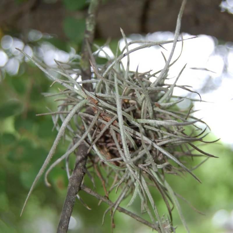Ball moss (Tillandsia recurvata)