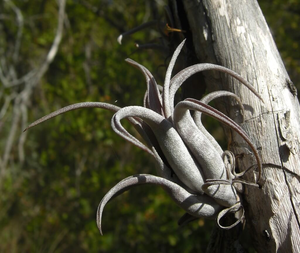 Tillandsia paucifolia - Flowering plants