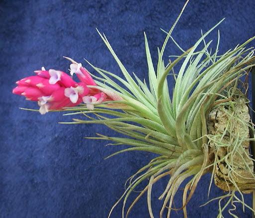 Tillandsia recurvifolia